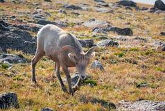 Pecore del Big Horn Immagini Stock