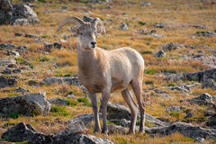 Pecore del Big Horn Fotografia Stock Libera da Diritti