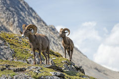 Pecore del Big Horn che camminano sul bordo della montagna Fotografia Stock Libera da Diritti