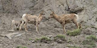 Pecore del Big Horn che lo parlano più fotografie stock libere da diritti