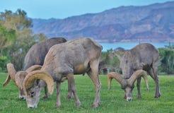Pecore del Big Horn che pascono Fotografie Stock
