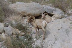 Pecore del Big Horn di Borrego immagini stock