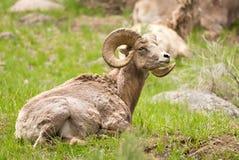 Pecore del Big Horn. Parco nazionale di Yellowstone, U.S.A. fotografie stock libere da diritti