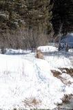 Pecore del Big Horn sulla sponda del fiume Immagine Stock