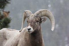 Pecore del Colorado Bighorn Immagine Stock