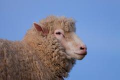 Pecore del Dorset di scrutinio Fotografia Stock