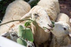 Pecore del fronte del primo piano che mangiano la foglia del gelso Fotografia Stock