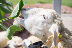 Pecore del fronte del primo piano che mangiano la foglia del gelso Immagini Stock