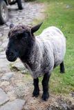 Pecore del fronte nero Fotografia Stock