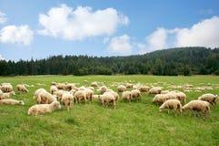 Pecore del gregge Fotografia Stock