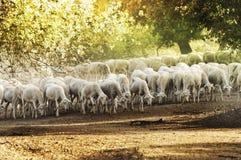 Pecore del gregge Fotografie Stock