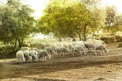 Pecore del gregge Immagini Stock Libere da Diritti