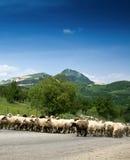 pecore del gregge immagine stock