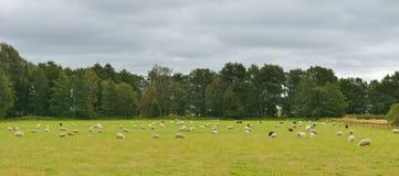 Pecore del gregge sul prato Fotografia Stock
