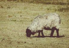 Pecore del karakul in pascolo Fotografia Stock Libera da Diritti