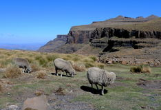 Pecore del mohair nel Lesotho, Africa Immagine Stock Libera da Diritti