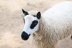Pecore del panda Immagine Stock