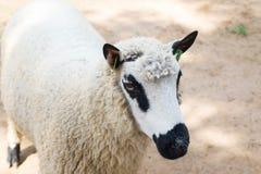 Pecore del panda Fotografie Stock Libere da Diritti