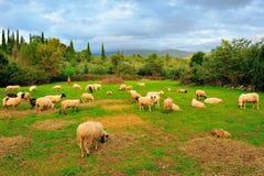 pecore del pascolo Fotografia Stock Libera da Diritti