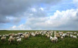 Pecore del pascolo Fotografie Stock