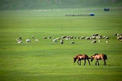 Pecore del pascolo della riva del fiume delle tribù di Khan Mongol dell'orda dorata di Mergel, cavalli, bestiame Fotografia Stock