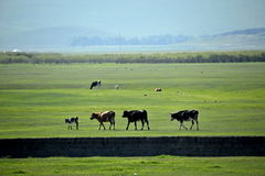 Pecore del pascolo della riva del fiume delle tribù di Khan Mongol dell'orda dorata di Mergel, cavalli, bestiame Fotografie Stock Libere da Diritti