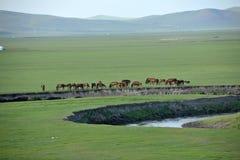 Pecore del pascolo della riva del fiume delle tribù di Khan Mongol dell'orda dorata di Mergel, cavalli, bestiame Immagine Stock