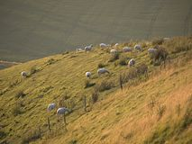 Pecore di Hillside Immagine Stock Libera da Diritti