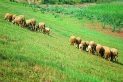 pecore del prato Immagini Stock Libere da Diritti