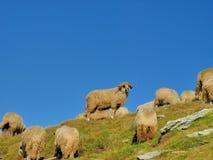 Pecore del Ram nella cima delle montagne Immagini Stock
