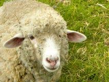 Pecore ?del rasoio?. Fotografie Stock Libere da Diritti
