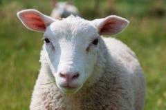 Pecore del ritratto Immagini Stock Libere da Diritti