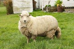 Pecore del ` s della Nuova Zelanda fotografie stock