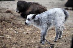 Pecore del tibetano del nero di Qinghai Fotografia Stock Libera da Diritti