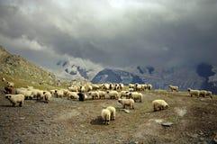 Pecore del Valais Blacknose Fotografia Stock Libera da Diritti