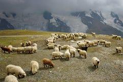 Pecore del Valais Blacknose Fotografia Stock