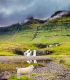 Pecore dell'agricoltore che pascono nell'erba Fotografia Stock
