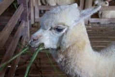Pecore dell'alpaga Fotografie Stock