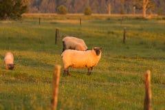 Pecore dell'azienda agricola sull'animale da allevamento di vetro verde Fotografia Stock
