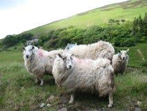 Pecore dell'Irlandese del pendio di collina Fotografia Stock