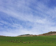 pecore della campagna Fotografia Stock Libera da Diritti