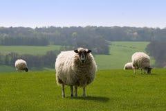 Pecore della guida Fotografie Stock