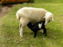 Pecore della madre che alimentano agnello nero fotografia stock