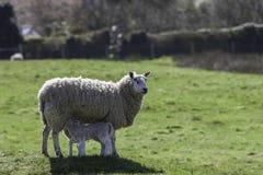 Pecore della madre che alimentano gli agnelli gemellati Fotografie Stock Libere da Diritti