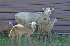 Pecore della madre che stanno in una moltitudine di bambini immagini stock libere da diritti