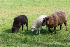 Pecore della madre con due agnelli d'alimentazione su un prato verde immagine stock libera da diritti