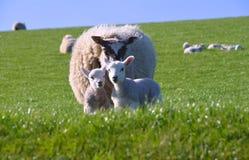 Pecore della madre con due piccoli agnelli svegli Fotografia Stock Libera da Diritti