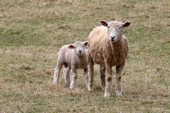 Pecore della madre con il suo piccolo agnello bianco immagini stock libere da diritti