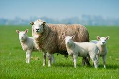Pecore della madre ed i suoi agnelli in primavera Fotografie Stock Libere da Diritti