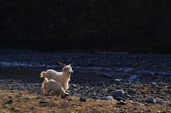 Pecore della madre ed il suo bambino Fotografia Stock